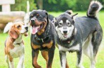 Mehrhundehaltung. ab zwei Hunden spricht man von Mehrhundehaltung