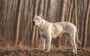 Die Hundesteuer für einen Listenhund differiert von Bundesland zu Bundesland, ja von Stadt zu Stadt. 1000 Euro können es schon mal sein. Hier ein Dogo-Argentino. (#1)